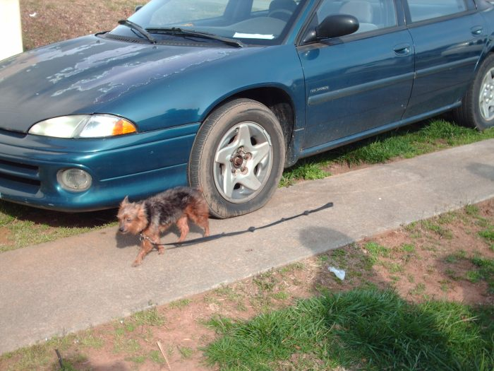 Cujo walking himself (he's very good at it) next to my 96 Dodge Intrepid I can't part with