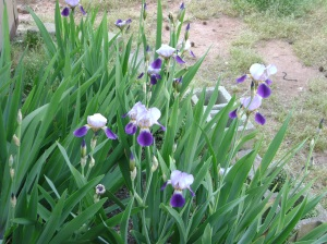 The iris' before the stray cats and weather got a hold of them.